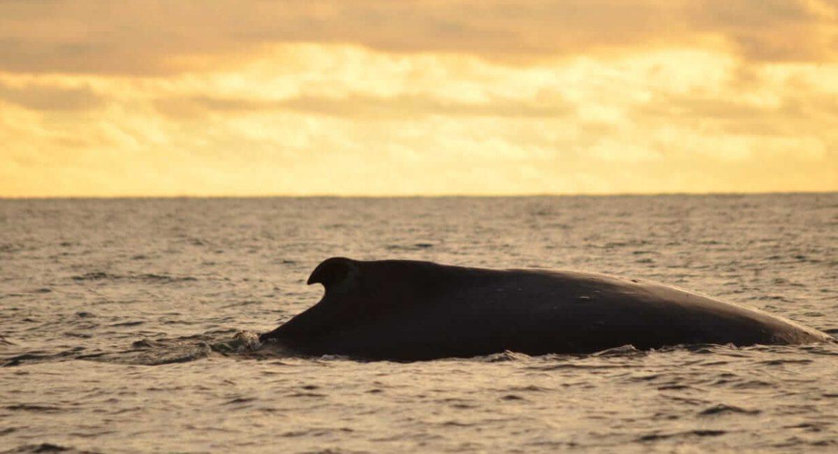 pacifico-colombiano-ballenas-jorobadas